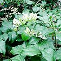 Flora Indonesia 007-MPA.jpg