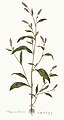 Flora Londinensis, or, Plates and descriptions of such plants as grow wild in the environs of London (8282210390).jpg