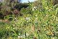 Flora della Sardegna 122 (2).JPG