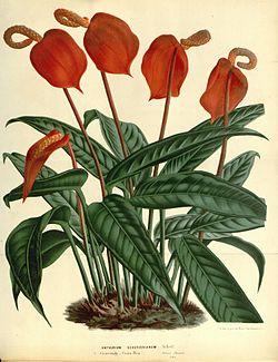 Flore des serres v17 139a.jpg