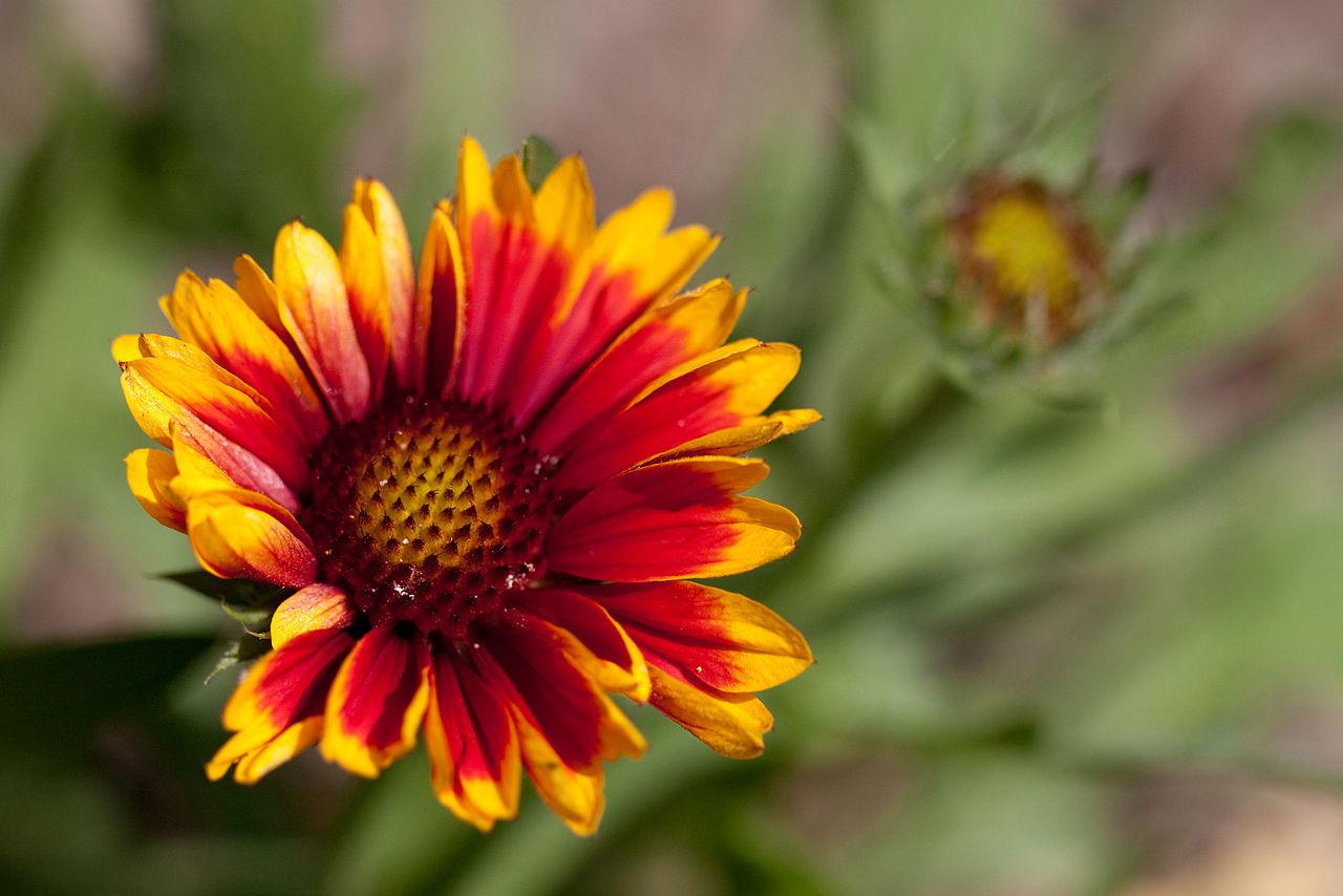"File Flower mon Perenial Gaillardia ""Arizona Sun"" Flickr ne"