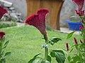 Flower - Motel garden - Danube gorge (1459132561).jpg