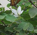Flower aatthi white 2.jpg