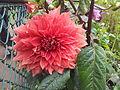 Flower at Ooty garden 2.jpg