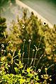 Flowers elbrus.jpg