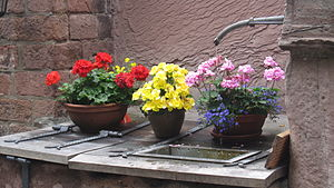 Flowers in Heidelberg.JPG