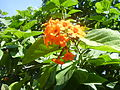 Flowers of Cuba 01.JPG