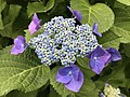 Flowers of Hydrangea macrophylla 20180531.jpg