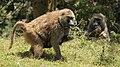 Foraging olive babboons (29638935837).jpg