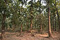 Forest - Shaktinagar - Dhenkanal 2018-01-25 9834.JPG