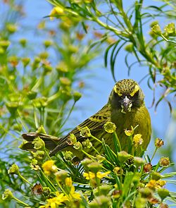 Forest Canary (Crithagra scotops) (32590918120).jpg