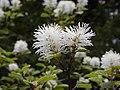Fothergilla gardenii 001.jpg