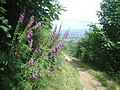 Foxgloves on North Hill - geograph.org.uk - 884650.jpg