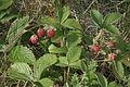 Fragaria viridis (Knack-Erdbeere) IMG 24525.JPG