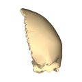Frontal bone close-up lateral.png