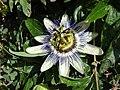 Fruit de la passion (Passiflora caerulea).jpg