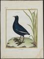 Fulica atra - 1700-1880 - Print - Iconographia Zoologica - Special Collections University of Amsterdam - UBA01 IZ17500217.tif