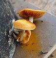 Fungi (1) - Flickr - gailhampshire.jpg