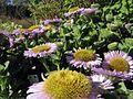 G20090411-4357--Erigeron glaucus 'Bountiful'--RPBG Plant Sale (18688121193).jpg