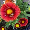 Gaillardia-arizona-red-shades-IMG 9410.jpg