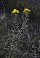 Galatella-linosyris-Ste-Croix-Quint-sud-MasGreffier-JW05.jpg