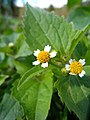 Galinsoga ciliata flowers2.JPG