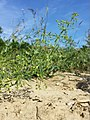 Galium spurium var. echinospermum sl43.jpg