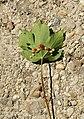 Galle Pediaspis aceris sur feuille Acer pseudoplatanus.jpg