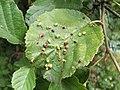 Galls scattered over alder leaf - geograph.org.uk - 957963.jpg