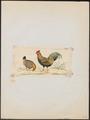 Gallus varius - 1820-1863 - Print - Iconographia Zoologica - Special Collections University of Amsterdam - UBA01 IZ17000011.tif