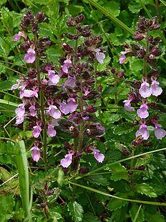 <i>Teucrium chamaedrys</i> species of plant