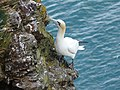Gannet at Troup Head - geograph.org.uk - 895296.jpg