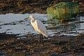 Garça-branca-pequena Egretta garzetta (51404112833).jpg