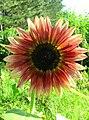 Garden sunflower photo.jpg