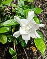Gardenia jasminoides aka Cape jasmine.jpg