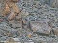 Garganey (Anas querquedula) (36886550104).jpg