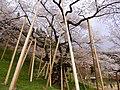 Garyuzakura at Hida-Ichinomiya - panoramio.jpg