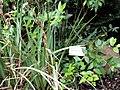 Gaultheria erecta - University of California Botanical Garden - DSC08975.JPG