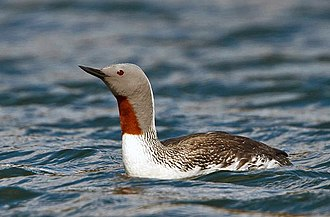Red-throated loon - Adult in breeding plumage in Iceland
