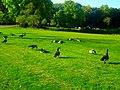 Geese in Vilas Park - panoramio (1).jpg