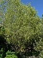 Geijera parviflora 1.jpg