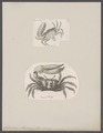 Gelasimus maracoani - - Print - Iconographia Zoologica - Special Collections University of Amsterdam - UBAINV0274 094 02 0003.tif
