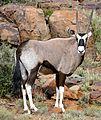 Gemsbok (Oryx gazella) (31985601693).jpg