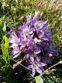 Gentianella austriaca sl5.jpg