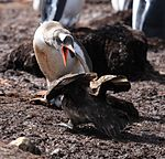 Gentoo Penguin guards its chick from Brown Skuas (5751728470).jpg