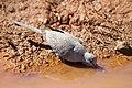Geopelia cuneata -Pilbara, Western Australia, Australia -drinking-8 (1).jpg