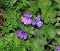 Geranium sp. - Flickr - S. Rae.jpg