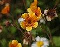 Geum 'Beech House' Flowers 2555px.jpg