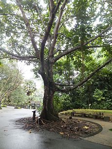 Giant Cola Dedicated to Nelson Mandela for His Visit Singapore Botanic Gardens 20130210.JPG