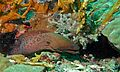 Giant Moray (Gymnothorax javanicus) (6093437059).jpg